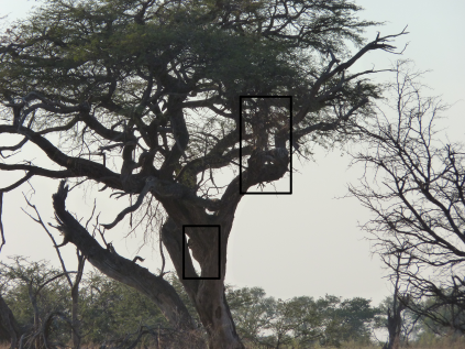 Despite the poor picture the squares show one cheetah high on the tree while the second one is climbing to join it.