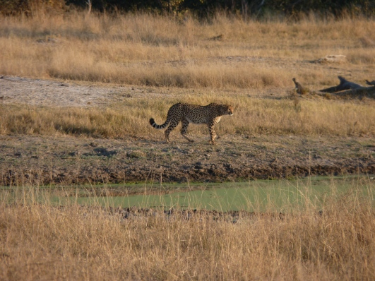 One of the cheetahs started to move on.
