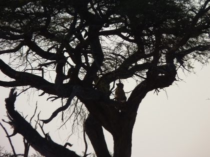 Cheetah climbing the tree.
