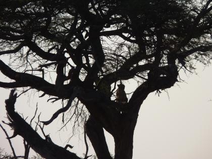 Cheetah climbing the tree.