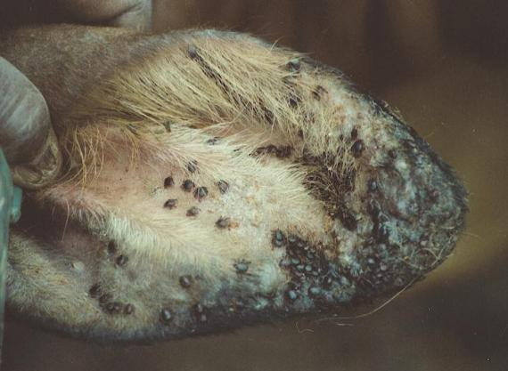 A calf ear showing a heavy infestation of Rhipicephalus appendiculatus, the Brown Ear Tick, vector of Theileriosis.