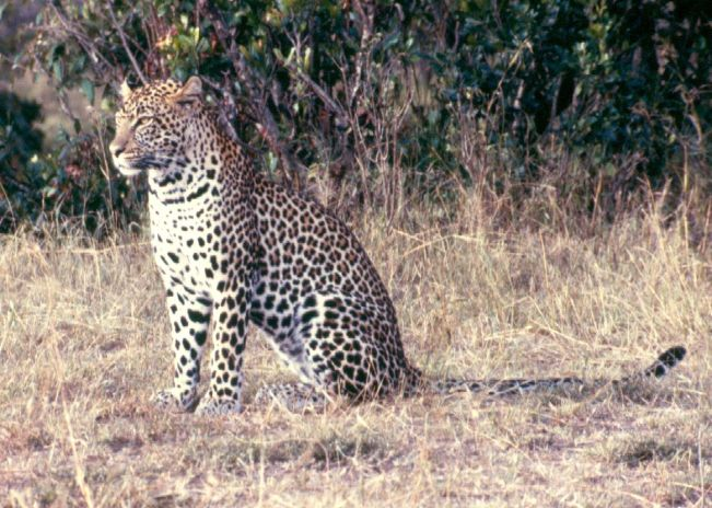 The secretive East African leopard pictured at the Maasai Mara Game Reserve.