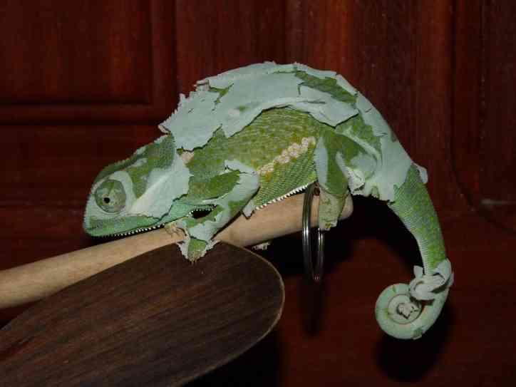Chamaleon shedding its skin.