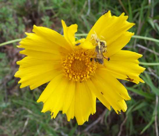 The yellow spider holding the bee. The small flies can be seen in different areas of the flower and the small male spider with its fly prey is on the right of the flower.