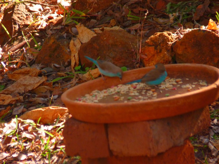 The first blue waxbills in our garden.