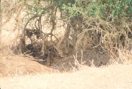 tsavo east lioness