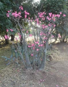 The desert roses at Swimuwini Rest Camp were spectacular.