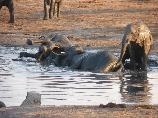 elephants palying hwange waterhole