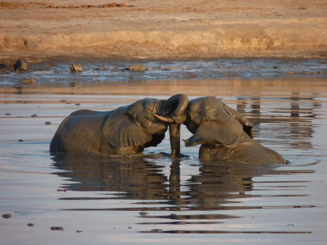 elephants playing hwange waterhole