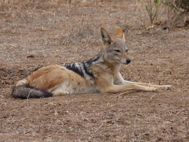 Jackals are intelligent animals, often overshadowed by larger predators. This one was very relaxed but did not miss detail!