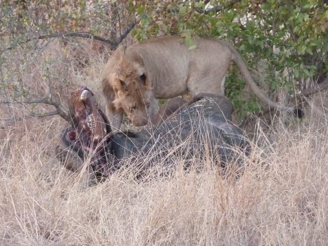 A closer view of the lion feeding.