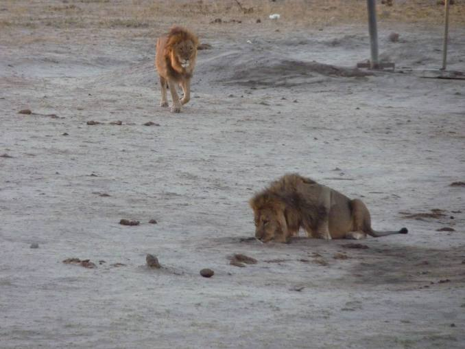 The male lions drinking in the periphery.