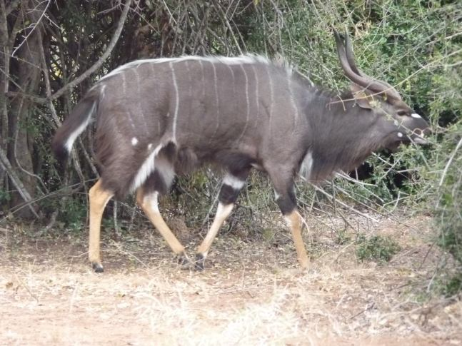 The male Nyala resident at the rest camp.