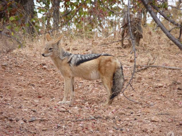 This jackal looked pregnant.