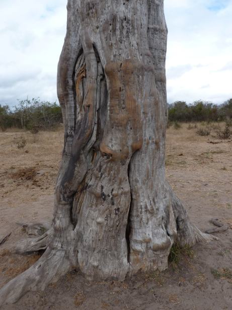 This rubbing tree trunk confirmed that elephants visited the pan, probably at night.