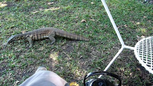 The monitor lizard was after food and it got really close.