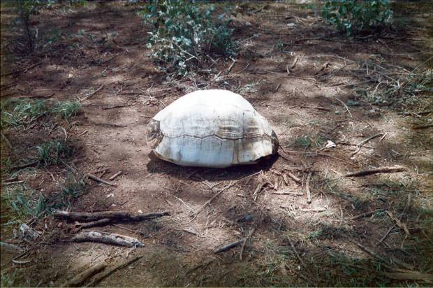 "Measuring about 40 cm length: The famous tortoise-shell that ""polluted"" part of the safari!"