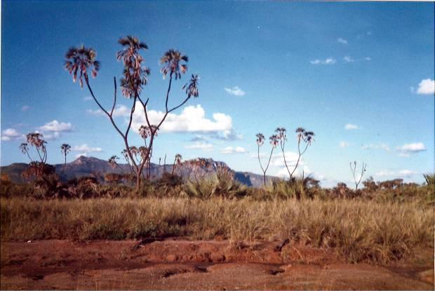 Landscape around the Ewaso Nyiro, nearby the Shaba campsite: Doum palms and red soil (laterite).