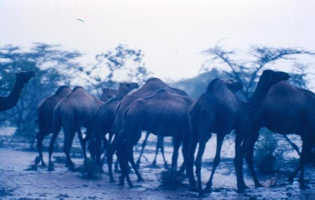 A group of camels: Under the unusual strong shower of that day...