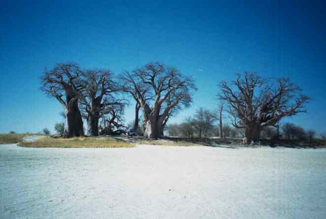 Baines' baobabs in 1999.
