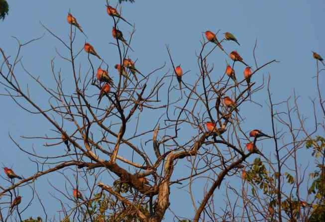 Southern carmine bee-eaters basking in the sun.
