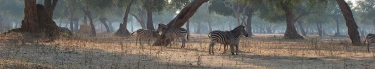 cropped-zebra-and-trees-morning.jpg