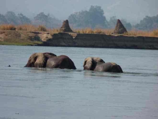 Elephants crossing the channel.