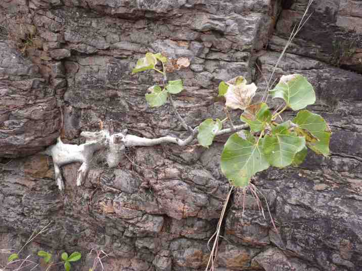 Fig tree growth can even crack rocks and buildings.