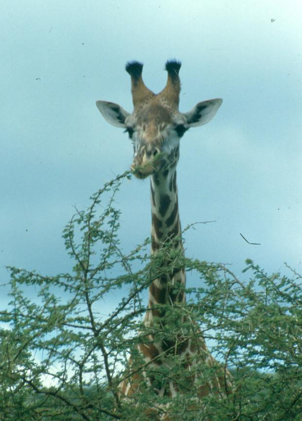 One of the giraffes browsing at the airport!