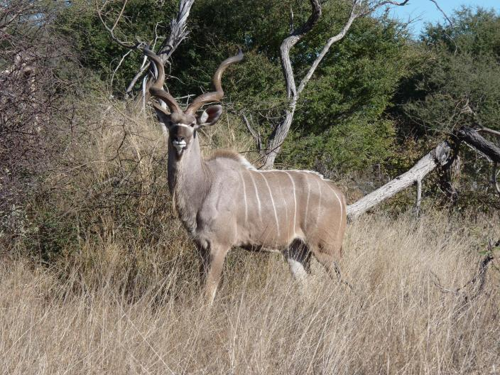 Greater Kudu bull near the Boteti river.