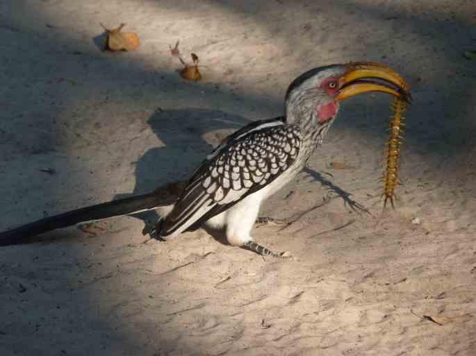 Yellowbilled hornbill bashing the centipede.