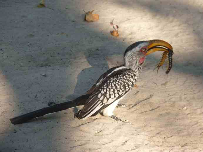 Hornbill with centipede at Nxai camp site small