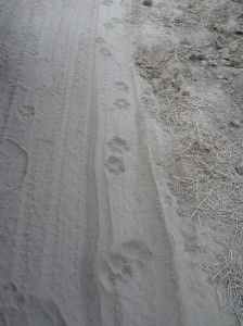 Lion paw marks on the dusty road.