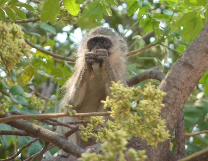 A Vervet monkey feeding on stolen produce.