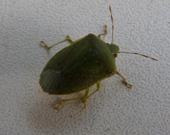 P1090861 stinkbug cropped and small