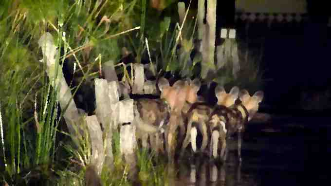 """Painted dogs at Third Bridge. It was a very poor picture taken with the car lights so I smudged it to try to be """"artistic""""..."""