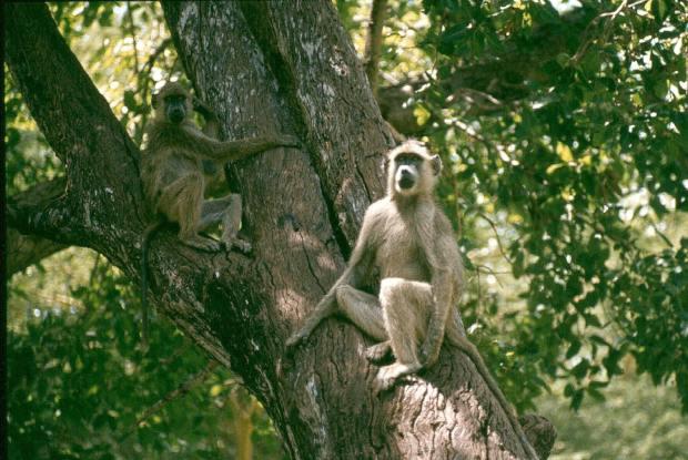 Tsavo W baboon best small