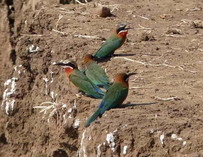 White fronted bee-eaters at the bank.