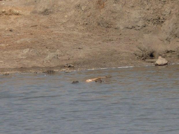 croc with impala