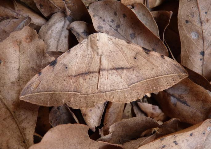 large moth