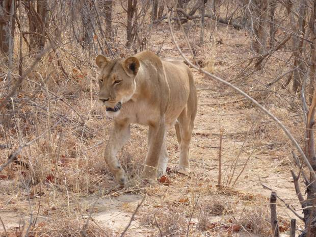 lioness small