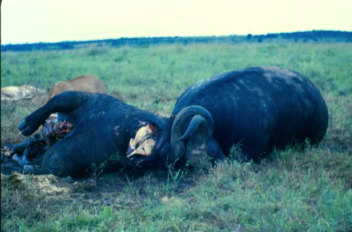 Fig 3. Buffalo with locked horns in Nairobi National Park. The back of a lioness is visible over the buffalo on the left. (© Julio de Castro)