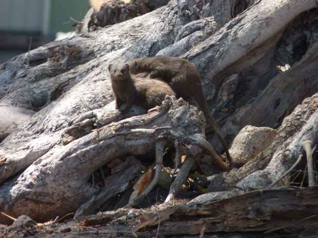 mongooses small 2013