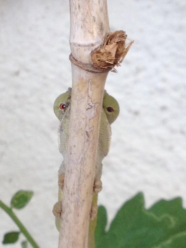 chameleon hidden 1