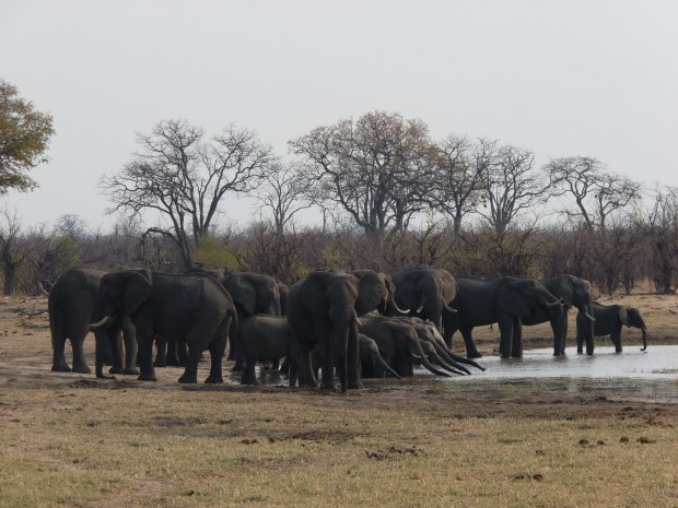 Elephants at w:hole prior to rain