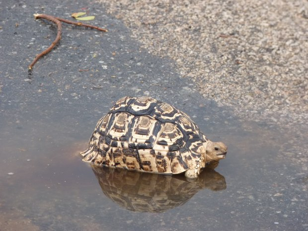 tortoise at puddle