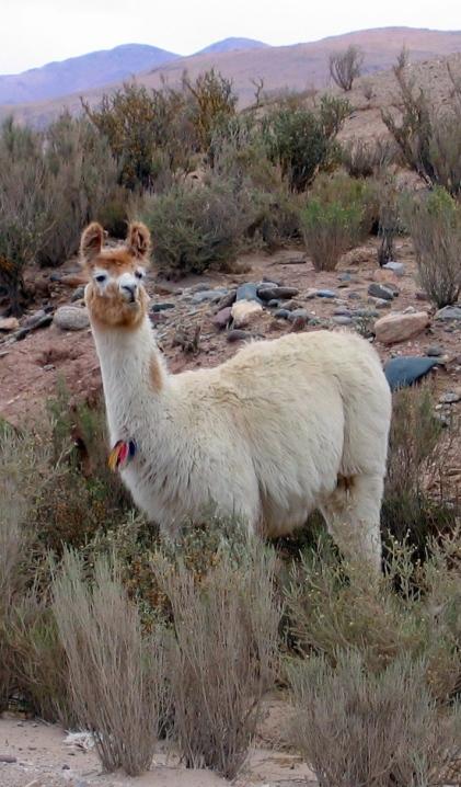 A Llama looks on.