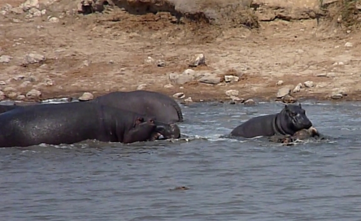 Another view of the Hippo vs. Crocodile struggle for the Impala at Point 2.