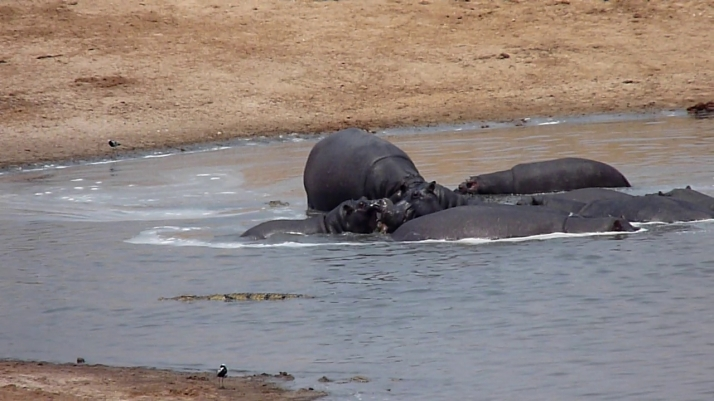 Another view of the final stages of the Hippo feeding frenzy.