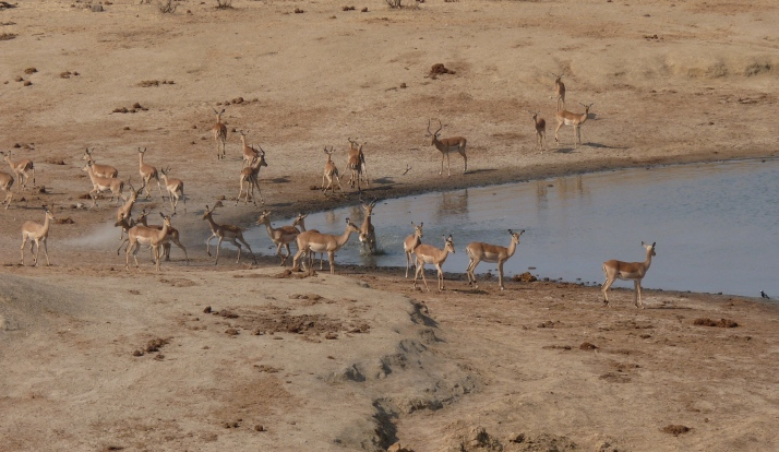 A Crocodile attack at the Impala drinking area.